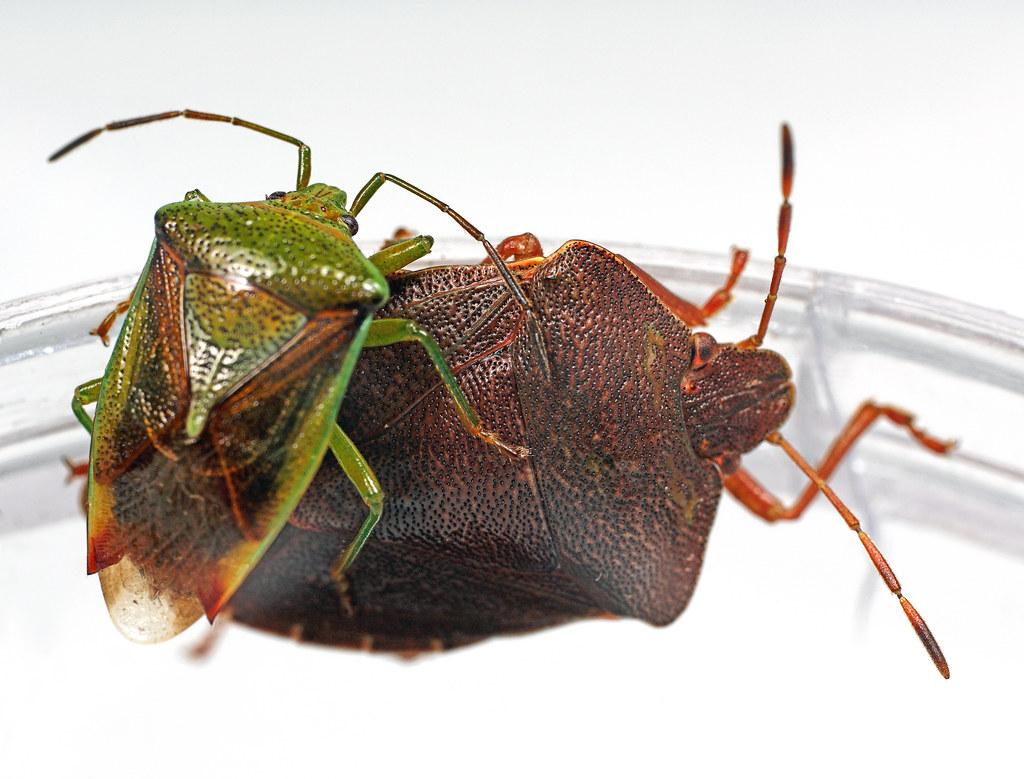 Shieldbugs