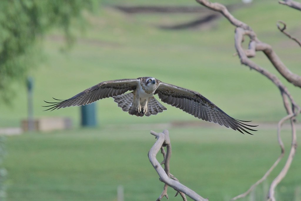 Osprey  ( coming in make  room )