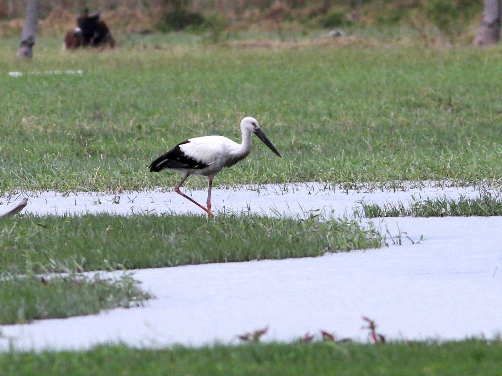 知本溼地占地有兩百多公頃,鳥類生態豐富,曾多次出現全球瀕危的東方白鸛。荒野保護協會提供