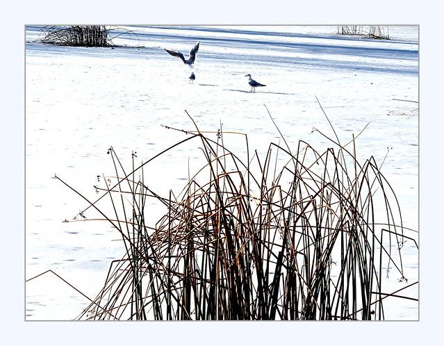 gulls on ice, Canon EOS 1100D, Canon EF-S 18-55mm f/3.5-5.6 III