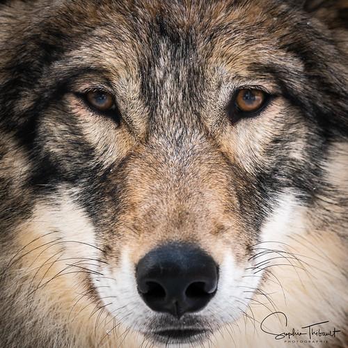 Chenoa: ces yeux-là...  - Wolf  (EXPLORE)