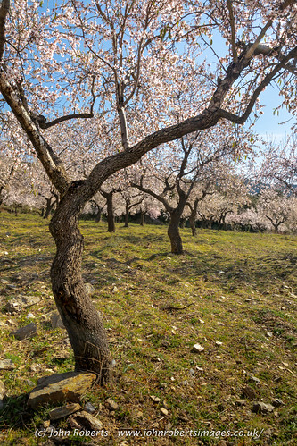 Grove of Almond Trees in Blossom, Alpujarra, Spain