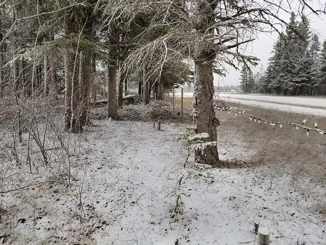 20190329.fickle.spring.spruces