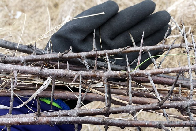 A gloved hand holding a bundle of sticks with long, sharp thorns.