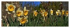 Jonquilles de mon jardin . Daffodils of my garden .