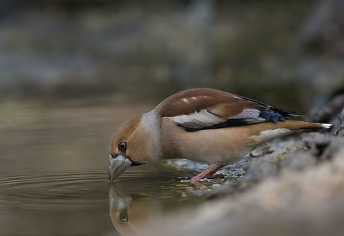 Hawfinch: Coccothraustes coccothraustes - F - (Explored)