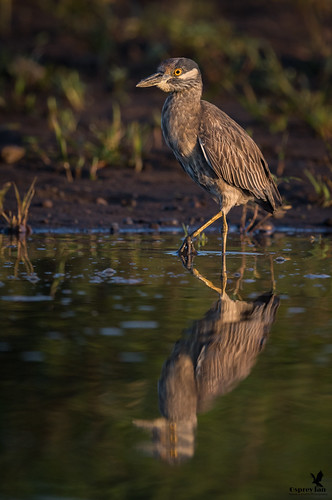Morning stroll - Yellow Crowned Night Heron