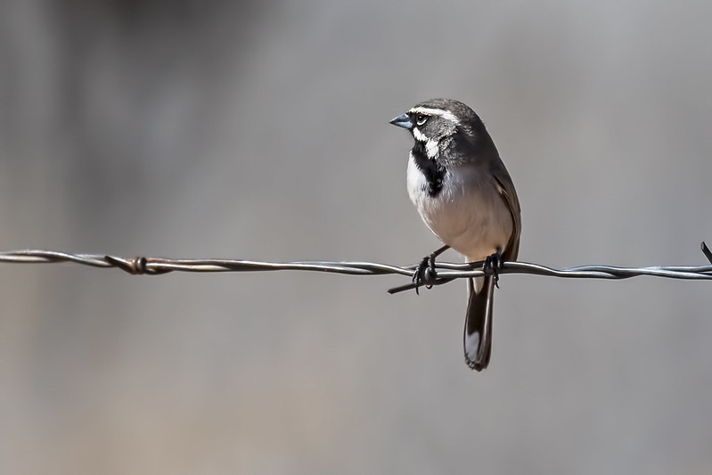Black-Throated-Sparrow-7D2_3-18-2019