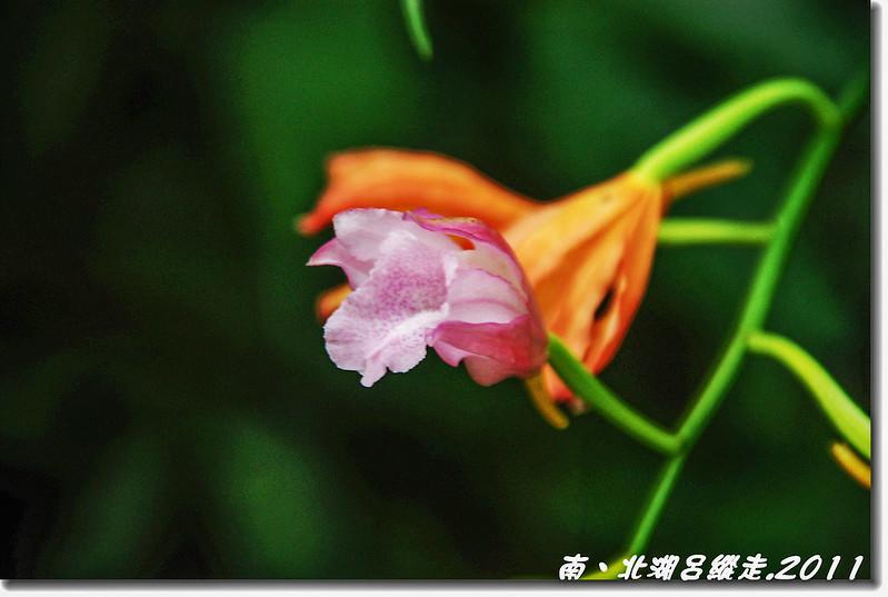 細莖鶴頂蘭 1