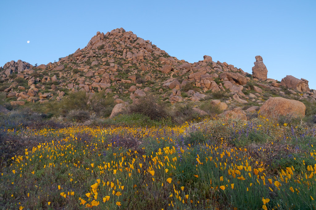 California poppies and Coulter's lupines bloom just before sunrise in the Sonoran Desert in front of granite formations along the Marcus Landslide Trail in McDowell Sonoran Preserve in Scottsdale, Arizona
