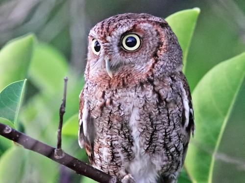 Eastern Screech-Owl 01-20190402