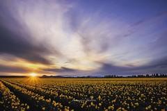 Sunburst and Daffodils