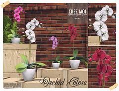 Orchid Colors CHEZ MOI