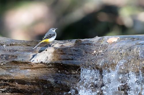 Bergeronnette des ruisseaux-Motacilla cinerea