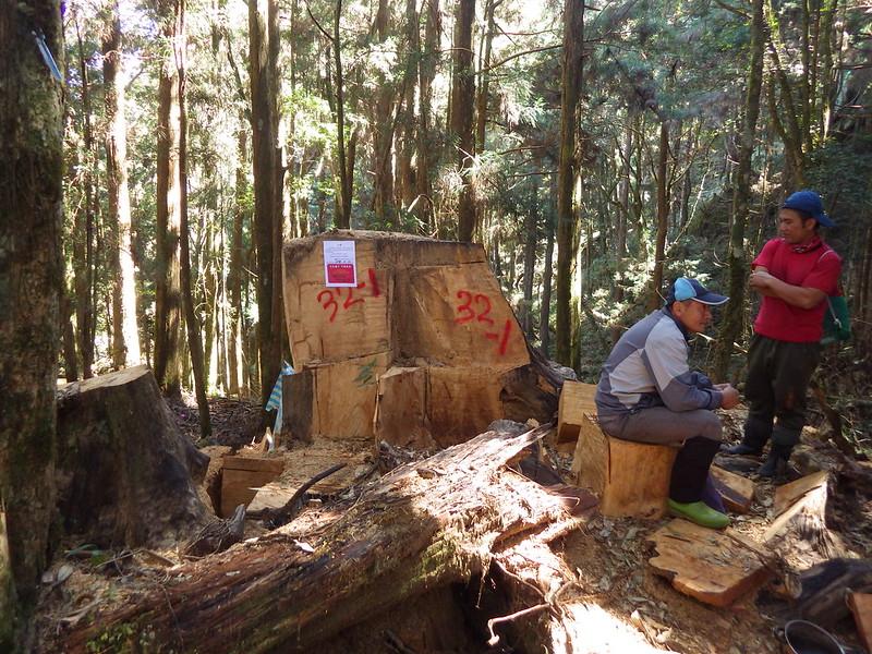 圖3、遭違法砍伐之樹頭殘材