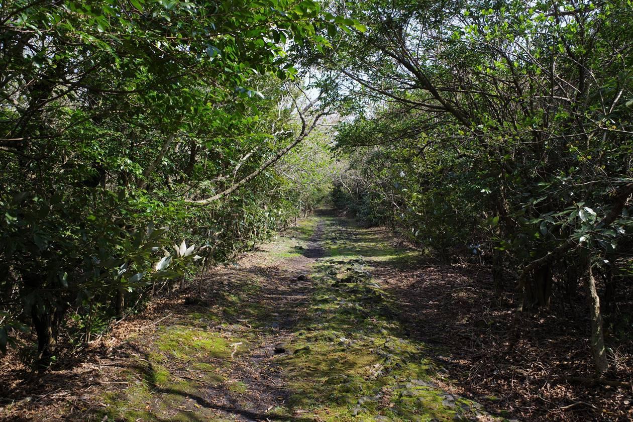 伊豆大島・三原山 テキサスコースの樹林帯