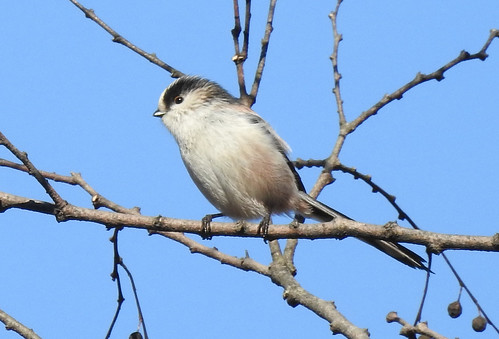 石神井公園の野鳥~エナガの場所