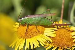 Empingham Grasshopper and Crickets