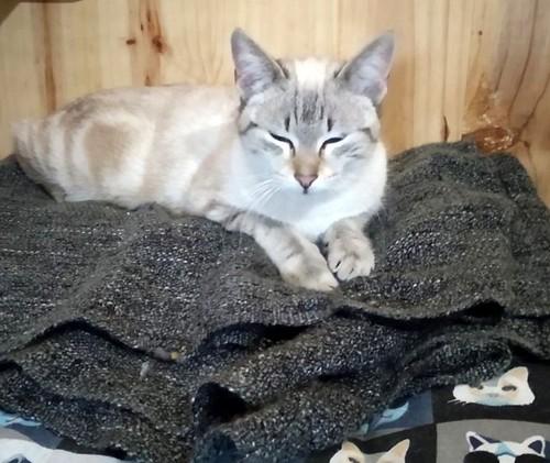Teryl, preciosa gata siamesa tabby esterilizada nacida en Septiembre´18, en adopción. Valencia. ADOPTADA. 46312488225_90a4ccbec9