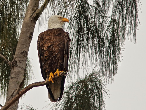 Bald Eagle male Pride 20190209