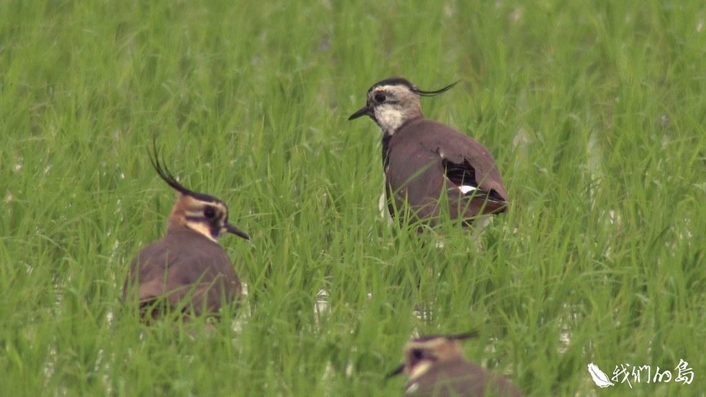農民俗稱為「土豆鳥」的小辮鴴。