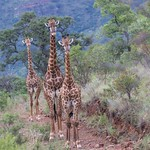 Giraffe – South Africa