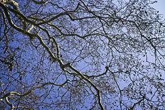 Forked Lightning Tree