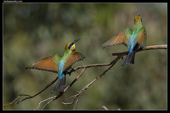 Rainbow Bee-eater: Intense discussion