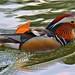 Pato mandarim - Mandarin duck - Aix galericulata by rio.alva