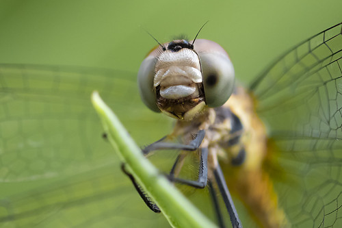 Odonata sp