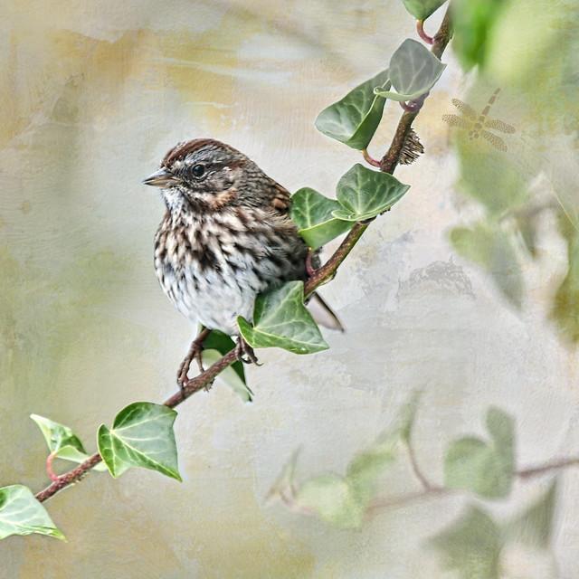 song sparrow (Melospiza melodia)  .  . .