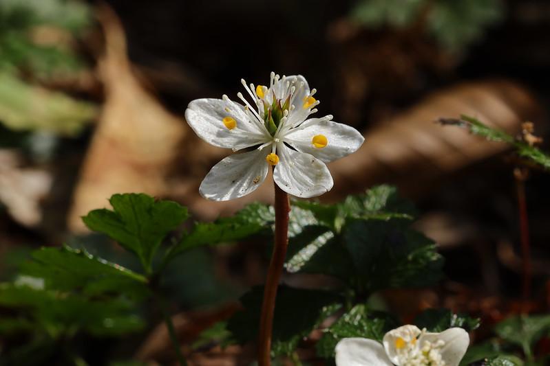 Coptis quinquefolia  バイカオウレン