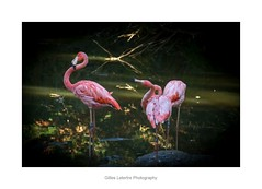 flamingos in the light of lying