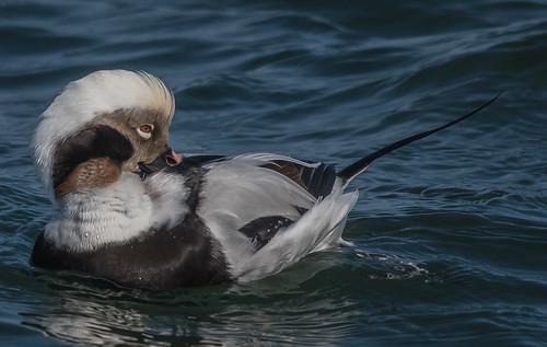 Male Longtail duck preening