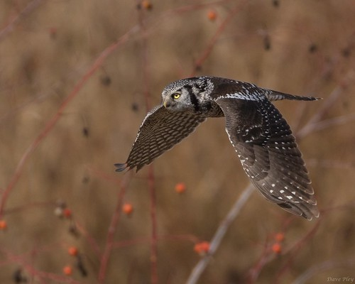 Hawk Owl - flight 3