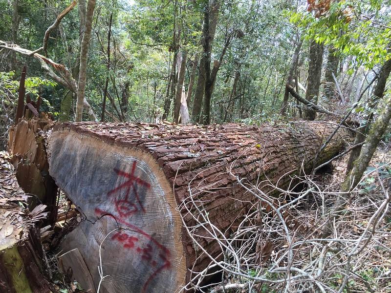 圖4、遭違法砍伐之香杉生立木