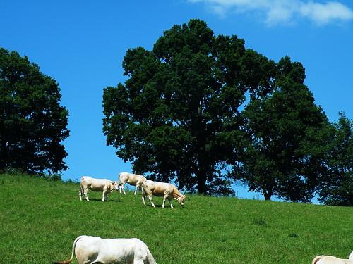 20090602 189 1112 Jakobus Kühe Bäume Wiese