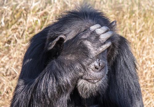 Chimpanzee, Ol Pejeta Conservancy, Kenya