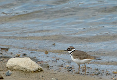 killdeer031519f