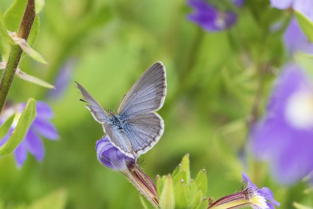Common Blue Butterfly, Nikon D7500, TAMRON SP 90mm F2.8 Di Macro VC USD F017N