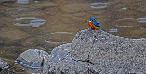 Rainy Day King Fisher Ranthambore India DSC_4013