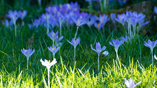 Before and after: crocuses | by Dave_A_2007