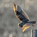 Short Eared Owl © Click to view large by The Digital Surgeon is back