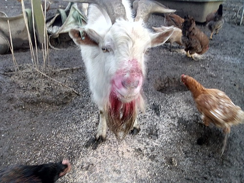 Red beard goat Jan 19 (2)