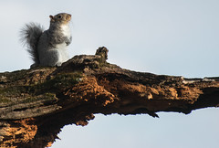 basking squirrel