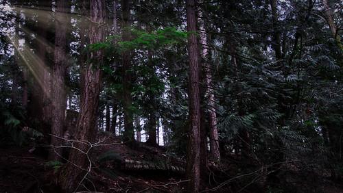 landscape tree trees evergreen evergreens sunrays
