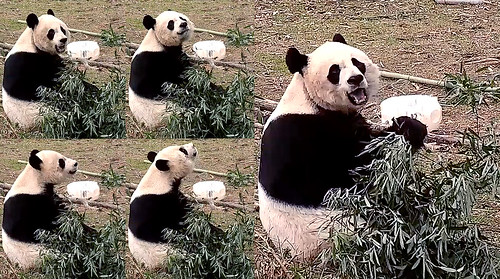 Mei Xiang (Hi cam fans! Welcome back! Excuse me–I smell something–maybe human visitors. No, false alarm. I think I smell rain or snow in the air. That means tomorrow I could be tumbling down my hill. Stay tuned.) 2019-01-29 at 12.37.59–.38.46 PM