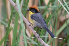 Yellow-breasted Brushfinch-21