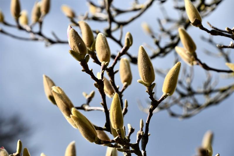 Magnolia Buds 19.03 (1)
