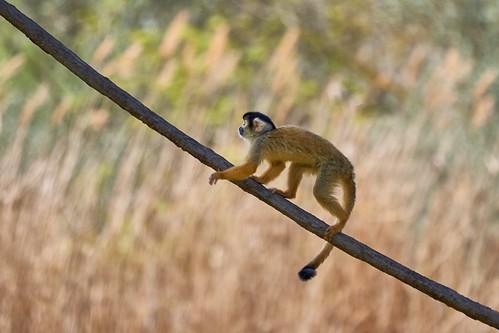 Saïmiri boliviano (Reserva africana de Sigean )
